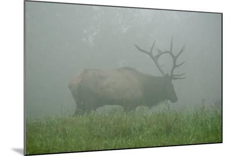 Elk in Morning Fog at Tennessee Wildlife Resources Agency in North Cumberland-Karen Kasmauski-Mounted Photographic Print