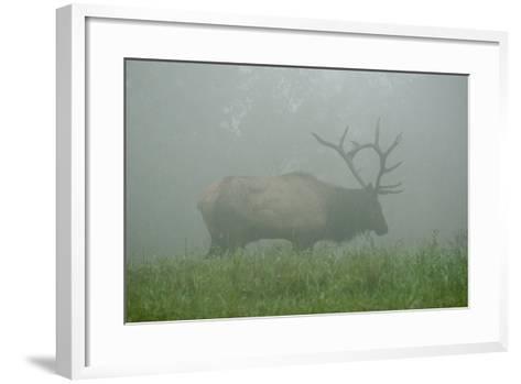 Elk in Morning Fog at Tennessee Wildlife Resources Agency in North Cumberland-Karen Kasmauski-Framed Art Print