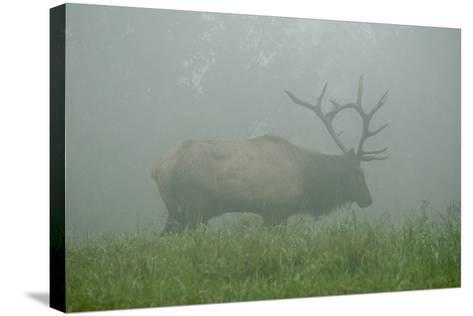 Elk in Morning Fog at Tennessee Wildlife Resources Agency in North Cumberland-Karen Kasmauski-Stretched Canvas Print