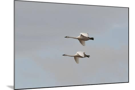 A Pair of Trumpeter Swans, Cygnus Buccinator, in Flight-Nicole Duplaix-Mounted Photographic Print