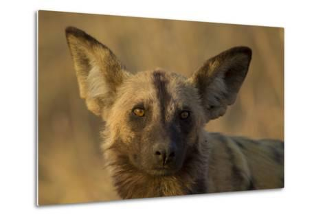 A Portrait of an African Wild Dog, Lycaon Pictus, at Sunset-Beverly Joubert-Metal Print