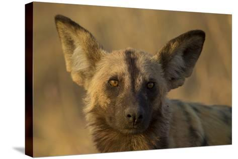 A Portrait of an African Wild Dog, Lycaon Pictus, at Sunset-Beverly Joubert-Stretched Canvas Print
