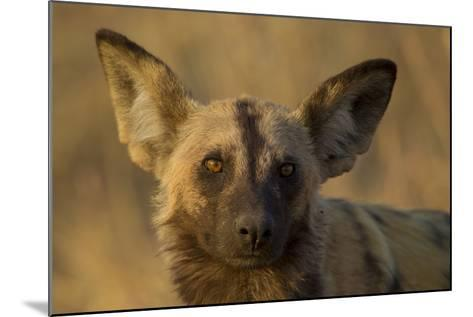 A Portrait of an African Wild Dog, Lycaon Pictus, at Sunset-Beverly Joubert-Mounted Photographic Print