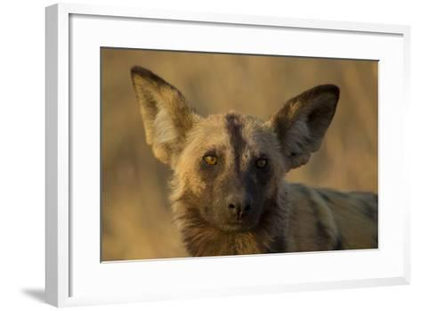 A Portrait of an African Wild Dog, Lycaon Pictus, at Sunset-Beverly Joubert-Framed Art Print