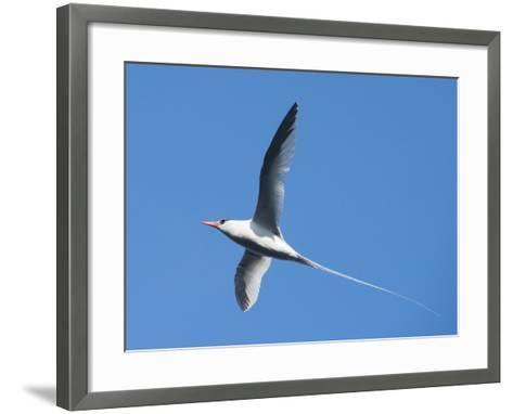 A Red-Billed Tropic Bird Flying-Michael Melford-Framed Art Print