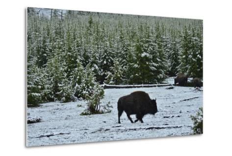 Bison Foraging in Snow-Raul Touzon-Metal Print