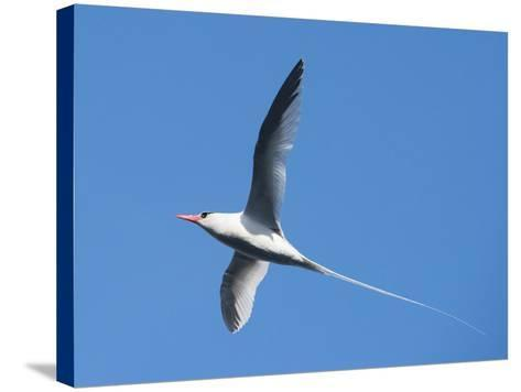 A Red-Billed Tropic Bird Flying-Michael Melford-Stretched Canvas Print