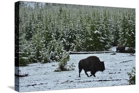 Bison Foraging in Snow-Raul Touzon-Stretched Canvas Print