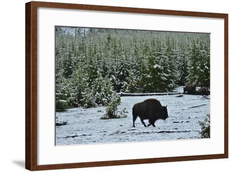 Bison Foraging in Snow-Raul Touzon-Framed Art Print