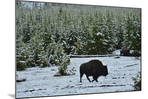 Bison Foraging in Snow-Raul Touzon-Mounted Photographic Print