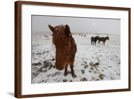 Icelandic Horse on Snowy Landscape-Raul Touzon-Framed Art Print