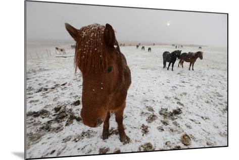 Icelandic Horse on Snowy Landscape-Raul Touzon-Mounted Photographic Print