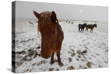 Icelandic Horse on Snowy Landscape-Raul Touzon-Stretched Canvas Print