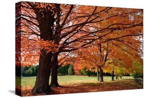Large Sugar Maple Trees, Acer Saccharum, with Fall Foliage in Lexington, Massachusetts-Darlyne Murawski-Stretched Canvas Print