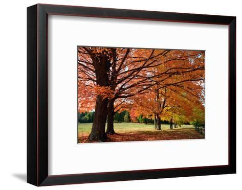 Large Sugar Maple Trees, Acer Saccharum, with Fall Foliage in Lexington, Massachusetts-Darlyne Murawski-Framed Art Print