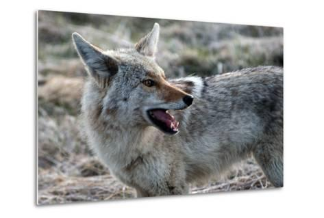 A Coyote, Canis Latrans, in Yellowstone National Park-Raul Touzon-Metal Print