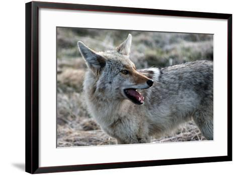 A Coyote, Canis Latrans, in Yellowstone National Park-Raul Touzon-Framed Art Print