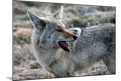 A Coyote, Canis Latrans, in Yellowstone National Park-Raul Touzon-Mounted Photographic Print