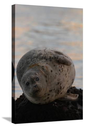 Portrait of a Harbor Seal-Jeff Wildermuth-Stretched Canvas Print