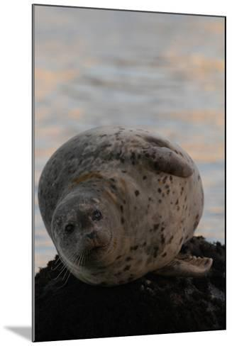 Portrait of a Harbor Seal-Jeff Wildermuth-Mounted Photographic Print