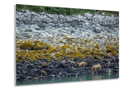 A Coastal Brown Bear Female and Cub Forage for Mussels on the Shoreline-Erika Skogg-Metal Print