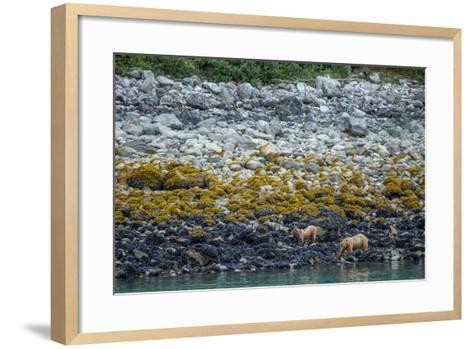 A Coastal Brown Bear Female and Cub Forage for Mussels on the Shoreline-Erika Skogg-Framed Art Print