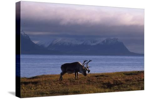 Svalbard Reindeer Grazing Near the Sea-Norbert Rosing-Stretched Canvas Print