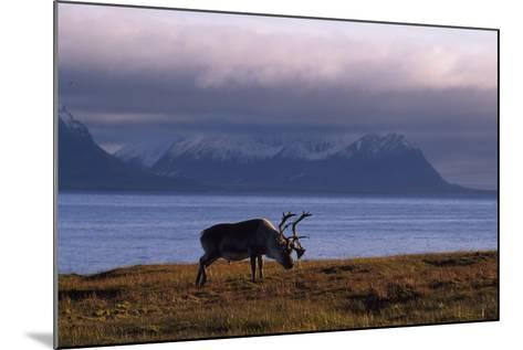 Svalbard Reindeer Grazing Near the Sea-Norbert Rosing-Mounted Photographic Print