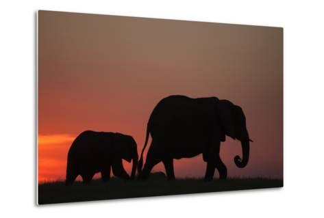 The Silhouette of an African Elephant with its Calf Walking at Sunset-Beverly Joubert-Metal Print