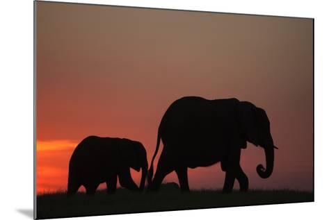 The Silhouette of an African Elephant with its Calf Walking at Sunset-Beverly Joubert-Mounted Photographic Print