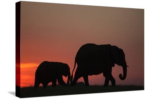 The Silhouette of an African Elephant with its Calf Walking at Sunset-Beverly Joubert-Stretched Canvas Print