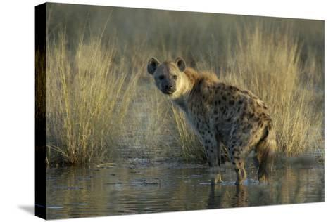 Spotted Hyena on the Shoreline, Upper Vumbura Plains, Botswana-Anne Keiser-Stretched Canvas Print
