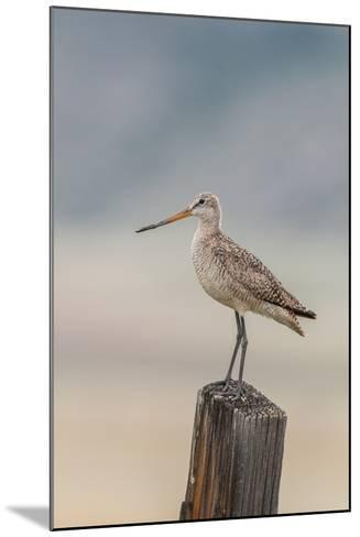 Marbled Godwit, Limosa Fedoa, Perching on a Wooden Post-Tom Murphy-Mounted Photographic Print