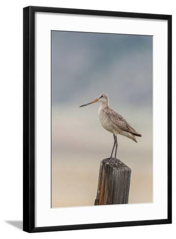 Marbled Godwit, Limosa Fedoa, Perching on a Wooden Post-Tom Murphy-Framed Art Print