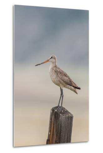Marbled Godwit, Limosa Fedoa, Perching on a Wooden Post-Tom Murphy-Metal Print