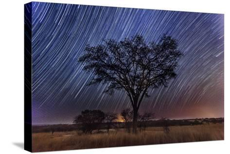 Star Trails Light the Sky Above an Acacia Tree-Matthew Hood-Stretched Canvas Print