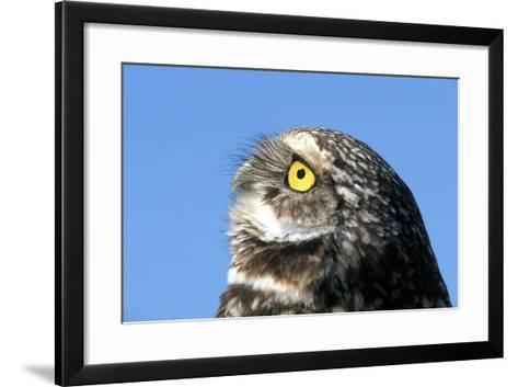 Close-Up of a Burrowing Owl, Athene Cunicularia-Cagan Sekercioglu-Framed Art Print