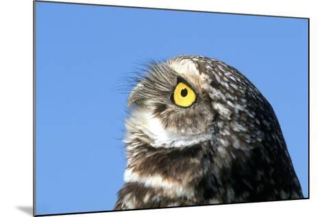 Close-Up of a Burrowing Owl, Athene Cunicularia-Cagan Sekercioglu-Mounted Photographic Print