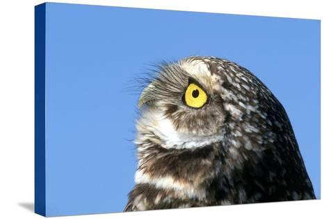 Close-Up of a Burrowing Owl, Athene Cunicularia-Cagan Sekercioglu-Stretched Canvas Print