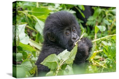 A Young Mountain Gorilla, Gorilla Beringei Beringei, Eating Leaves of Plants-Tom Murphy-Stretched Canvas Print