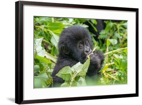 A Young Mountain Gorilla, Gorilla Beringei Beringei, Eating Leaves of Plants-Tom Murphy-Framed Art Print