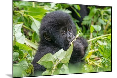 A Young Mountain Gorilla, Gorilla Beringei Beringei, Eating Leaves of Plants-Tom Murphy-Mounted Photographic Print
