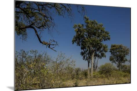 A Leopard, Panthera Pardus, Resting on a Tree Branch-Beverly Joubert-Mounted Photographic Print