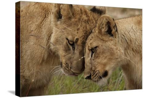 A Pair of Lion Cubs, Panthera Leo, Greet Each Other by Rubbing Heads-Matthew Hood-Stretched Canvas Print