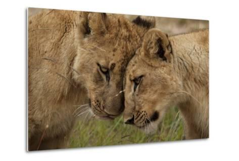 A Pair of Lion Cubs, Panthera Leo, Greet Each Other by Rubbing Heads-Matthew Hood-Metal Print