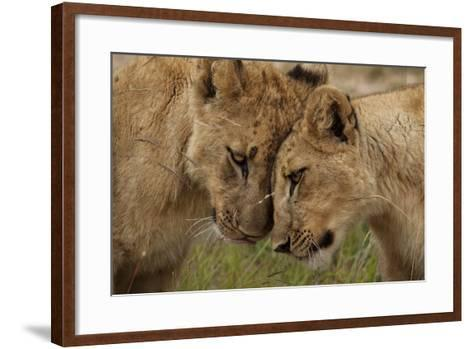 A Pair of Lion Cubs, Panthera Leo, Greet Each Other by Rubbing Heads-Matthew Hood-Framed Art Print