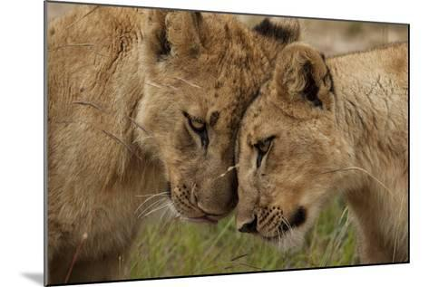 A Pair of Lion Cubs, Panthera Leo, Greet Each Other by Rubbing Heads-Matthew Hood-Mounted Photographic Print