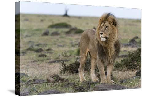 A Male Lion, Panthera Leo, Looking at the Surroundings-Sergio Pitamitz-Stretched Canvas Print