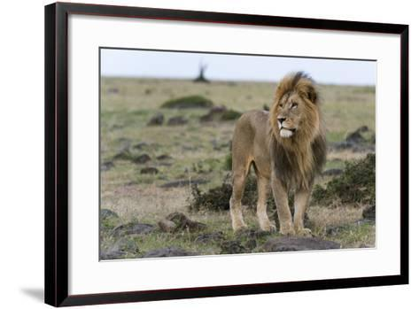 A Male Lion, Panthera Leo, Looking at the Surroundings-Sergio Pitamitz-Framed Art Print
