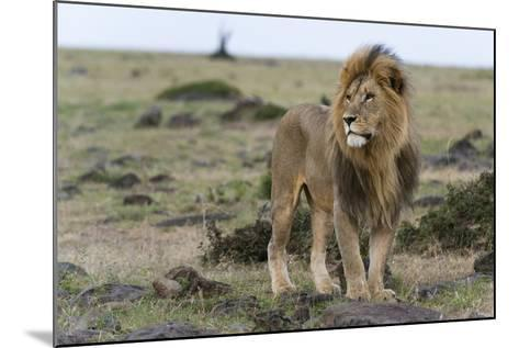 A Male Lion, Panthera Leo, Looking at the Surroundings-Sergio Pitamitz-Mounted Photographic Print